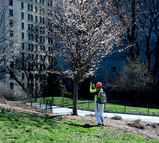 B. Lorraine Smith hangs around with a blossoming cherry tree in New York's Central Park