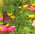 The Butterfly Has Landed copy.jpg