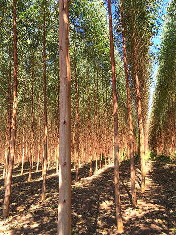 A eucalyptus plantation near São Paulo, Brazil where B. Lorraine Smith and other forest industry observers learning about more effective, less toxic ways to eradicate leaf-cutting ants.