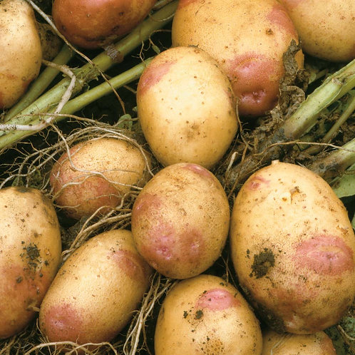Maris Piper (Early Maincrop - Price per lb)