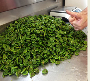 Just coming back from Fiddlehead picking.JPG