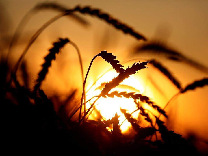 how-wheat-can-help-in-fight-against-hidd