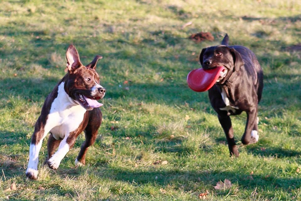 Terrier et Molosse choc des Titans