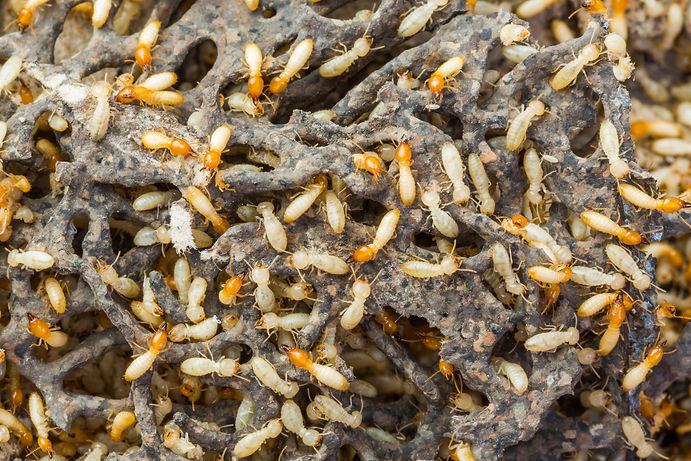 temite inspection pest control