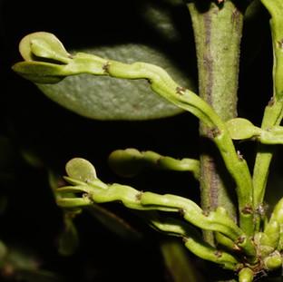 Antidaphne viscoidea