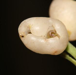 Hedyosmum goudotianum
