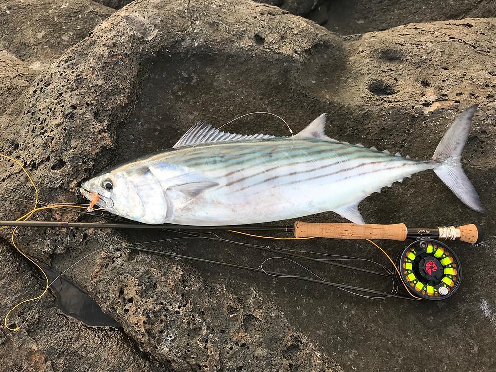Atlantic Bonito caught on silk fly line Fuerteventura