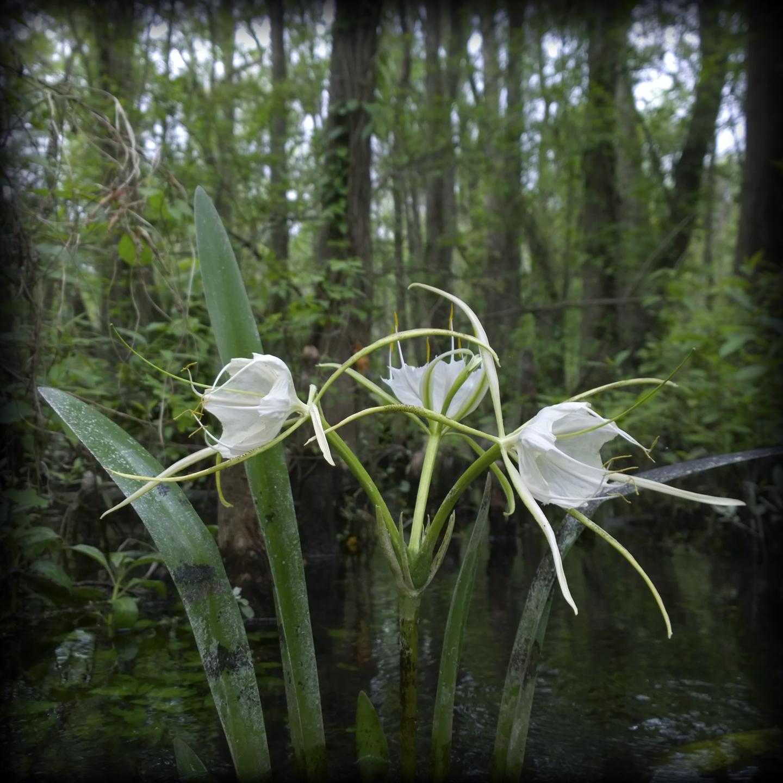 4-Waterlilies