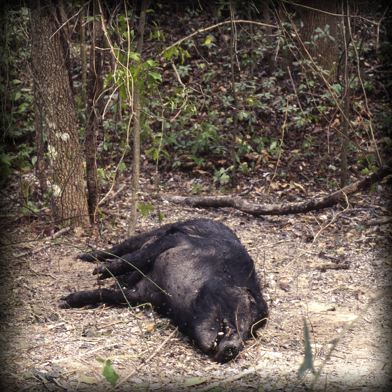 13-Boar