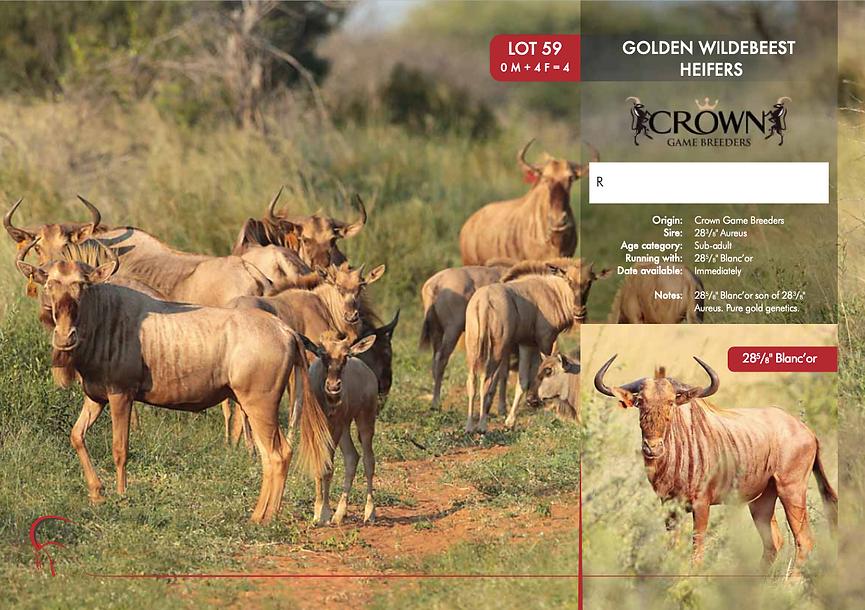 Lot 59 Golden Wildebeest Heifers.png