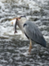 Heron with Grayling 2.jpg