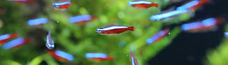 Red and silver fish