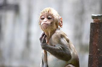 Rijal-Monkey from Monkey Temple.JPG