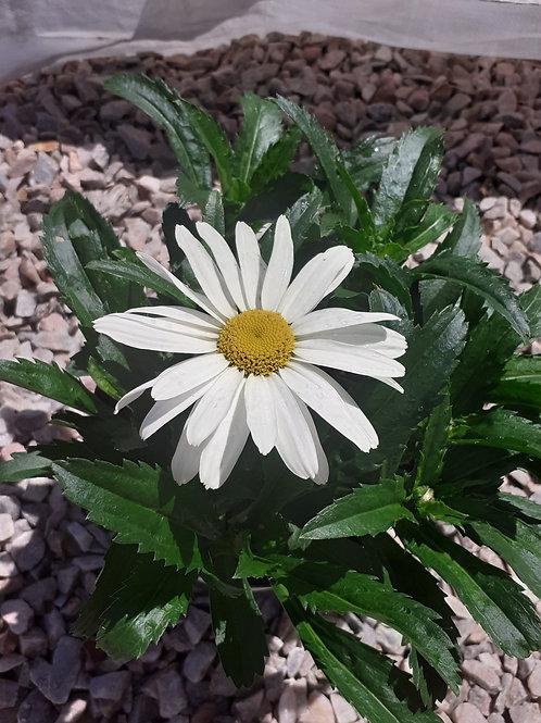 Cream Puff 3L  'Leucanthemum'