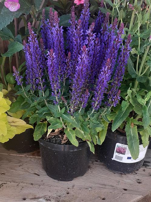 copy of Sensation Deep Blue 2L 'Salvia nemorosa'