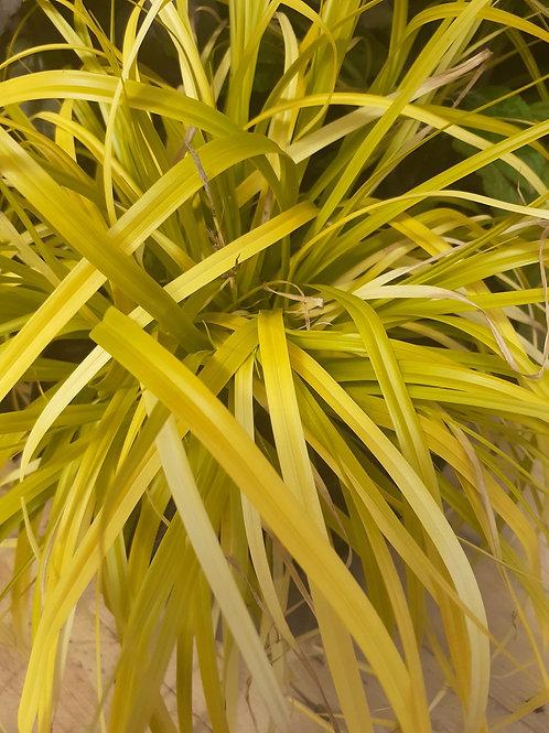 Everille 3L  'Carex oshim