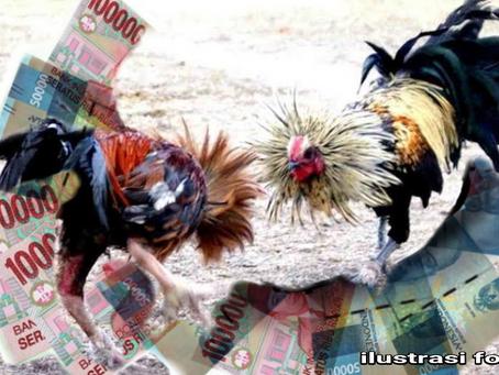 Pola Rahasia Main Judi Sabung Ayam Agar Menang Terus