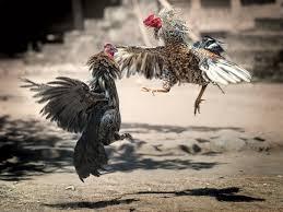 Tips Dan Trik Bermain Judi Sabung Ayam Online Agar Menang Dan Dapat Banyak Keuntungan
