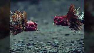 Latihan yang harus diberikan sehingga ayam bangkok bisa mematikan