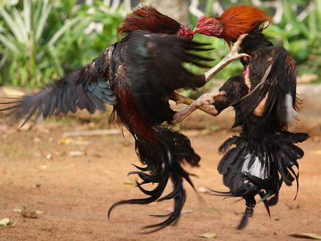 Untuk pejuang ayam Bangkok dapat dengan jenis pakan ini