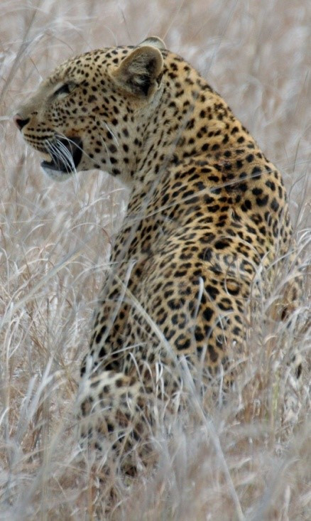 leopard wildlife management in Zambia