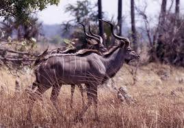 Kudu on a Zambian Game Ranch