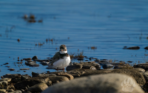 Semipalmated Plover.jpg