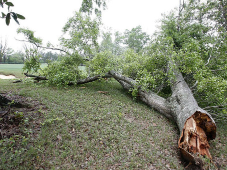 What happens when my neighbor's tree falls into my yard?