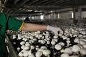 Mushroom Farms