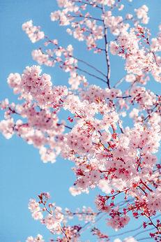 sakura-tree-2033997.jpg