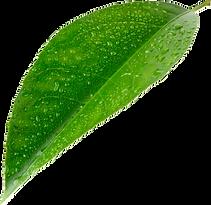 Lime leaf 1.png
