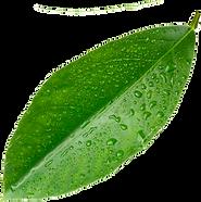 Lime leaf 2.png