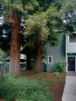 ebv-redwood