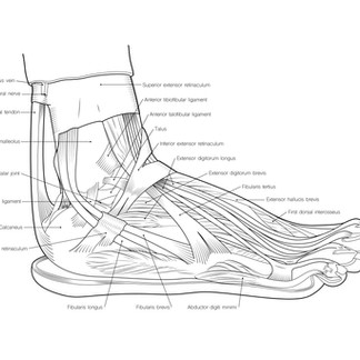 Lateral Foot Anatomical Line Drawing