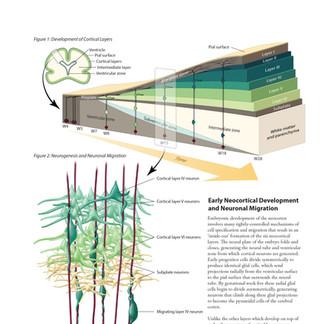 Neuronal Migration Textbook Mock-Up