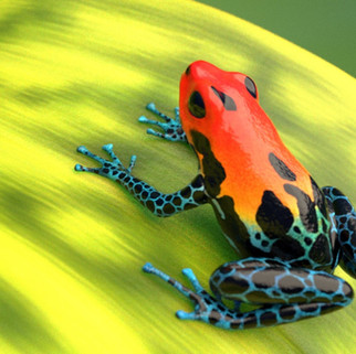 Poison Dart Frog 3D Model