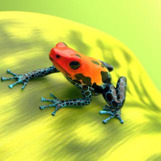 Poison Dart Frog Model