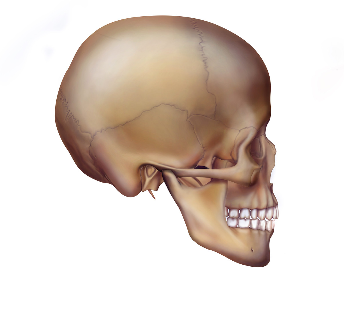 Lateral Skull
