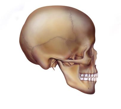 Lateral Skull