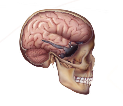 Lateral Skull with Brain Showing Atrophy