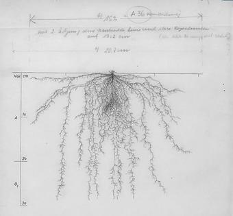 trifolium hybridum.PNG