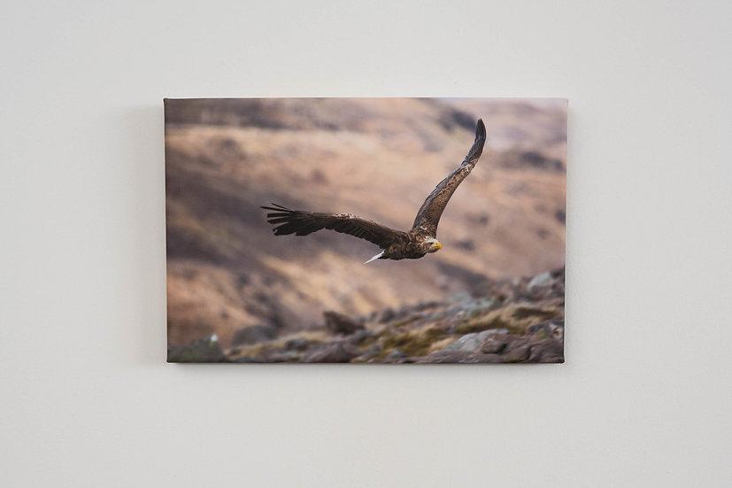 White Tailed Eagle Canvas