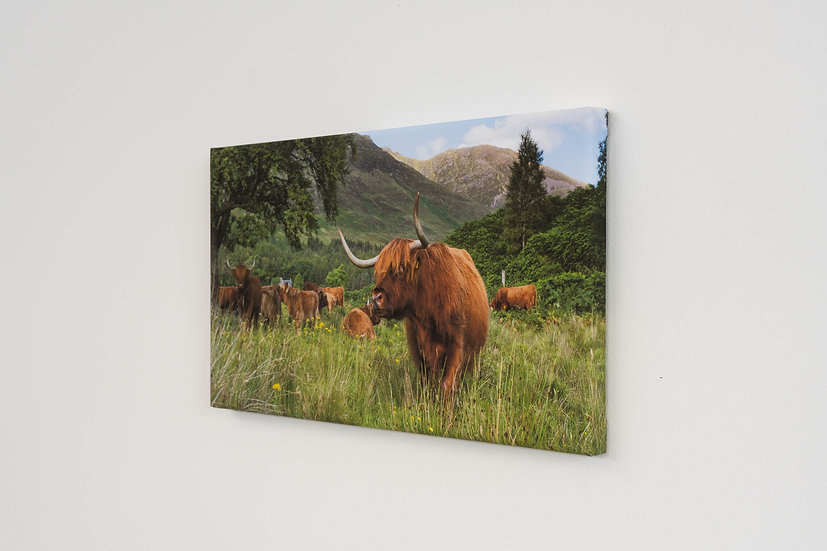Highland Coos Canvas