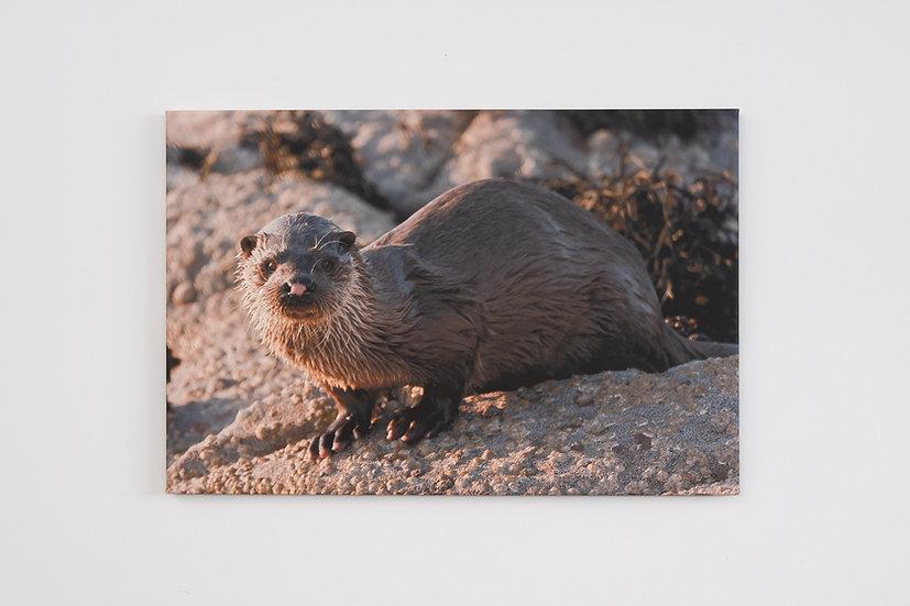 Otter Canvas