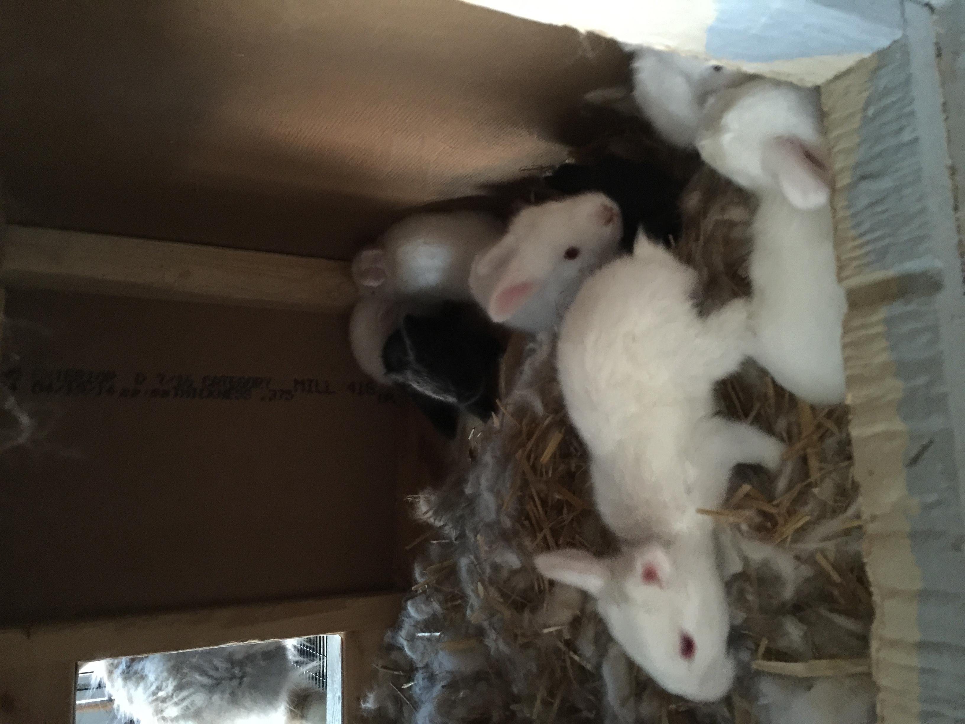 Angora Babies
