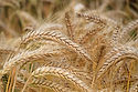 Wheat and Tares.jpg