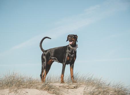 Dobermann - Als Ersthund geeignet?