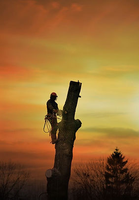 Geelong Arborist working in the sunset.j
