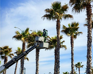 Arborist on a lift pruning palm trees.JP