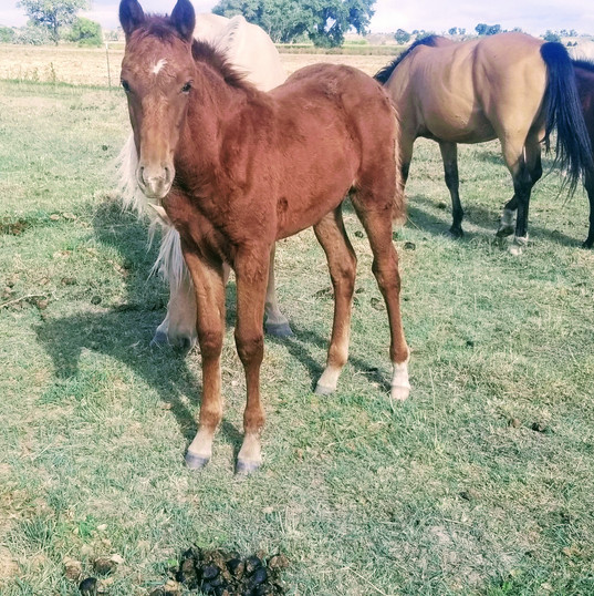 Celest & Chino Filly 2018
